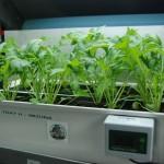 Mizuna salad greens in a hydroponic system.