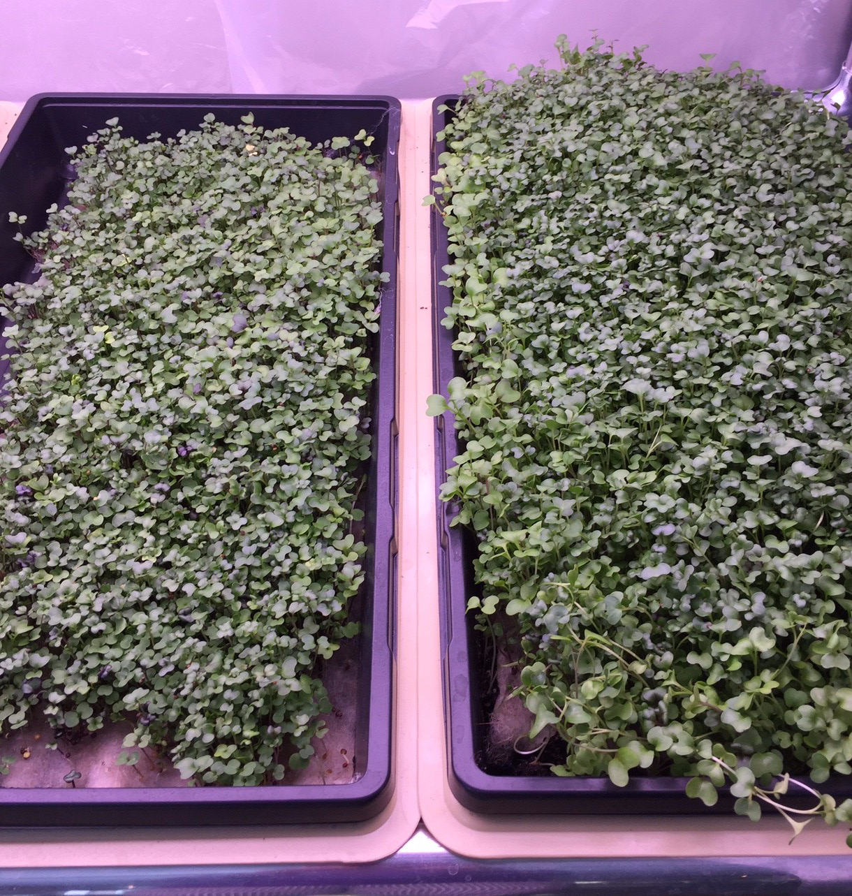 Photo shows two successful crops of micro greens.