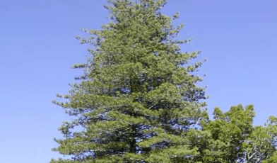 'Pine